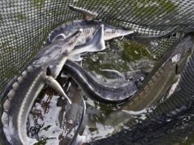Уфимская транспортная прокуратура сообщает, что в ходе рейдовых мероприятий на реке Белая выявлена незаконная добыча рыбы с причинением ущерба свыше ста тысяч рублей